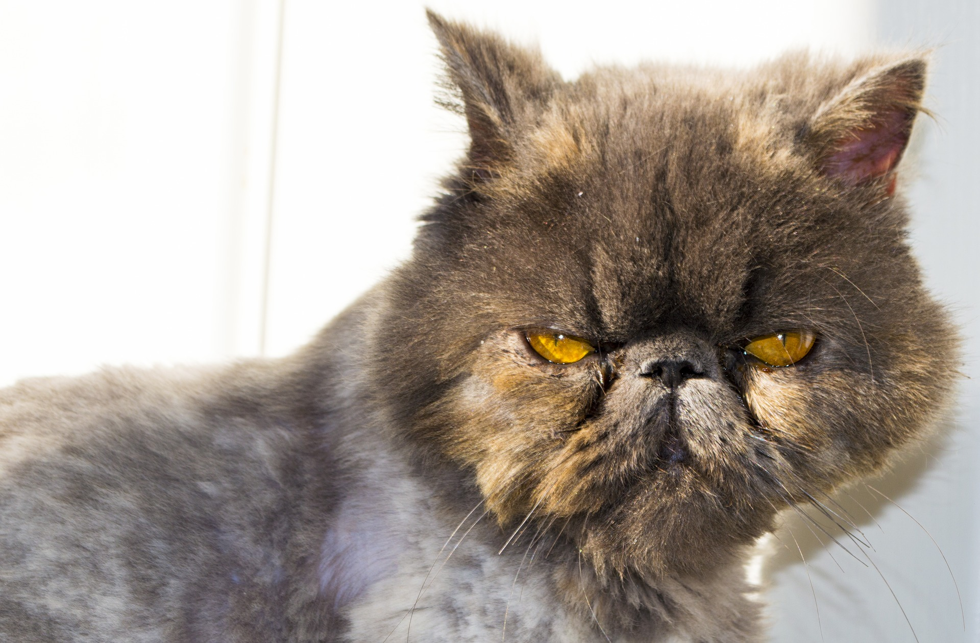 "alt=""persian cat with yellow eyes"""